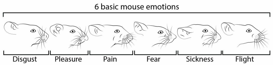 Musenes ansikter uttrykker følelser, selv om de ikke er så lett å gjenkjenne for oss mennesker.