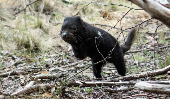 En hunn er på spranget i det fri etter å ha blitt undersøkt og sluppet løs av forskerne. Denne tasmanske djevelen var ett av dyra som ble undersøkt i en fire år lang studie som ga nye svar om hvordan den dødelige smitten brer seg blant de truede dyra. (Foto: Sarah Peck)