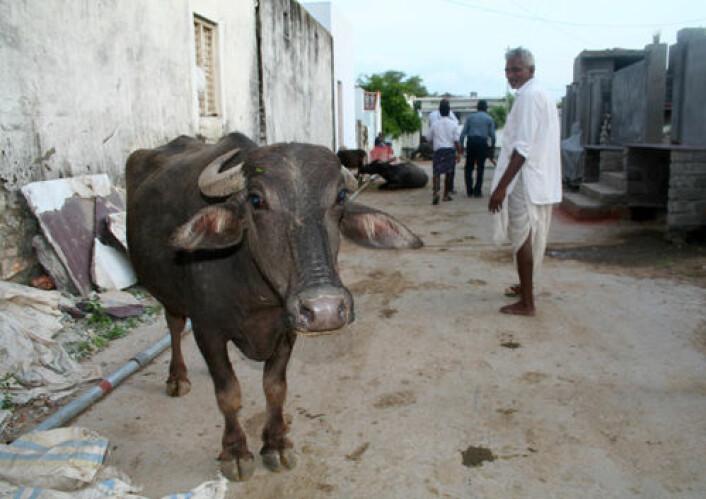 Landsbyen Irukugudem har mange dyr, men mangel på vann gjør tilgangen på fôr vanskeligere. (Foto: Asle Rønning)