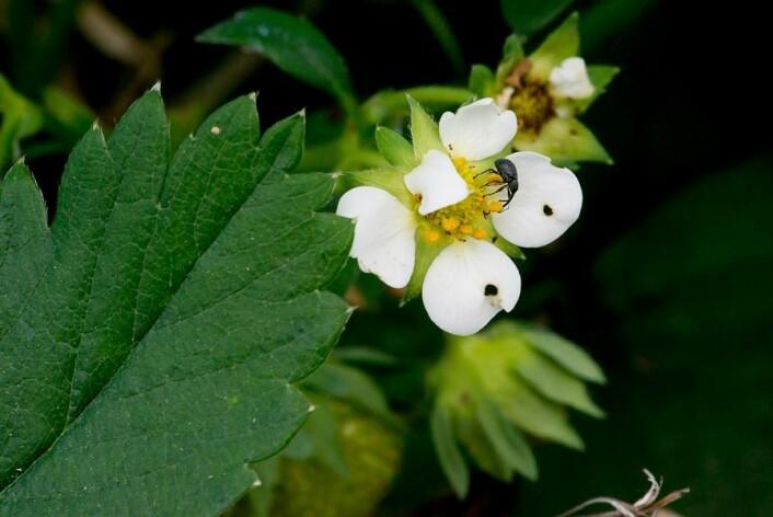 Jordbærsnutebille i jordbærknopp. (Foto: Erling Fløistad)