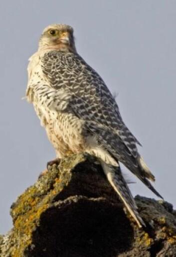 Jaktfalk av den lysegrå typen som hekker blant annet på Island. Jaktfalk er Islands nasjonalfugl. (Foto: Thor Østbye)