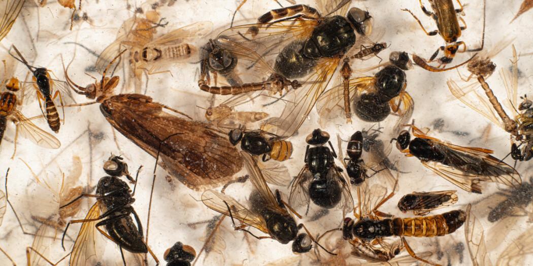 Hver prøve kan inneholde tusenvis av insekter. Nå kan de artsbestemmes ved hjelp av DNA-metastrekkoding.