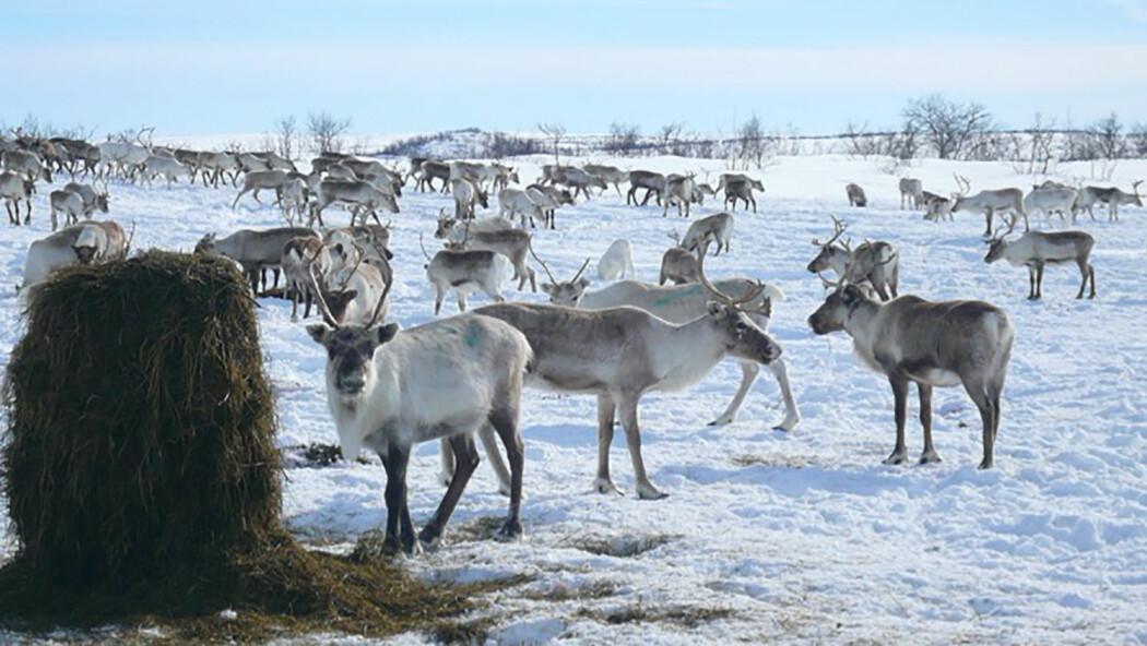 På grunn av uvanlig mye snø og is når ikke reinsdyrene matfatet av islagt lav i beiteområdene. I krisetid blir det brukt flere millioner kroner til fôring av rein.