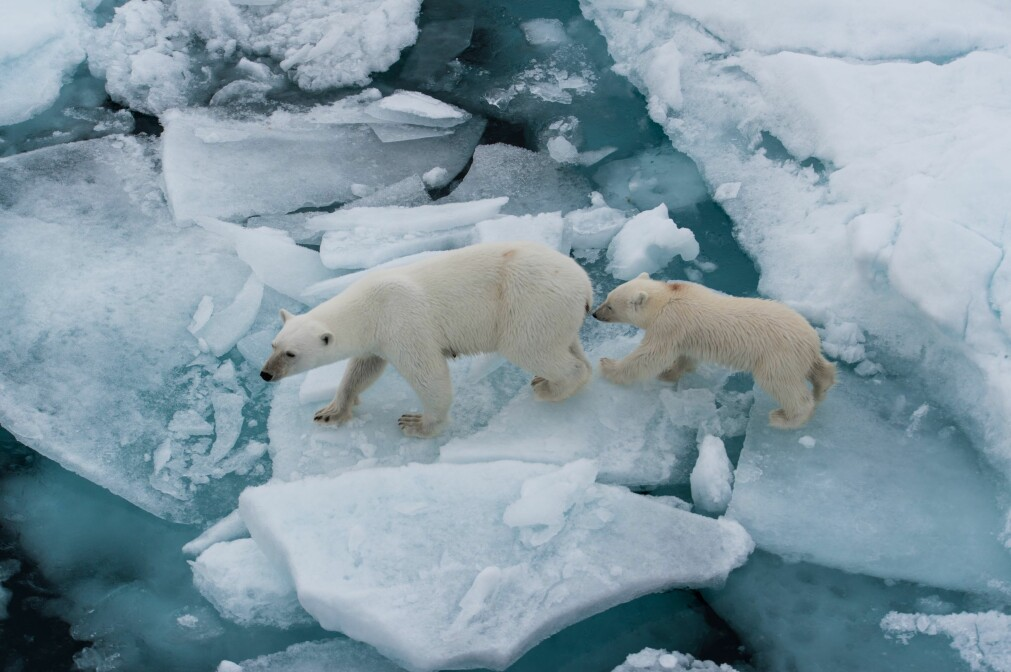 Når en liten isbjørnfamilie kommer helt opp til skutesiden, er det bare én ting å gjøre: Finne frem kameraet og ta bilder.