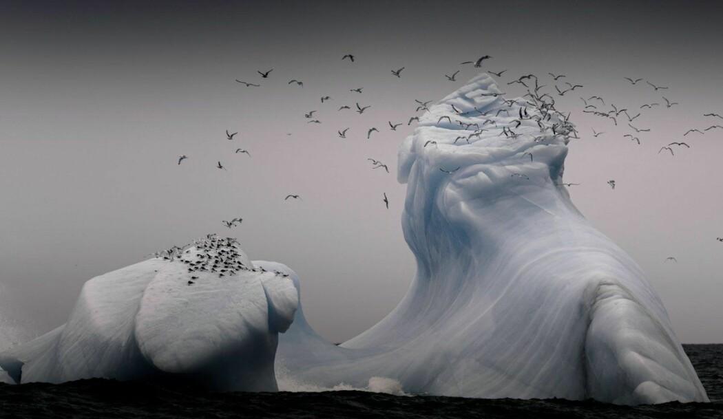 Selen ved Svalbard.