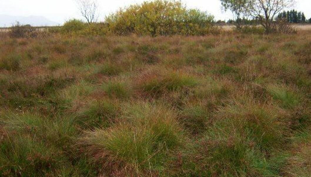 Denne myra på Smøla ble dyrket for 30 år siden, og har begynt å ligne naturlig våtmarksområder igjen. Forskerne foreslår nå å hjelpe naturen komme dit fortere - og på den måten stoppe klimautslipp. Arne Grønlund