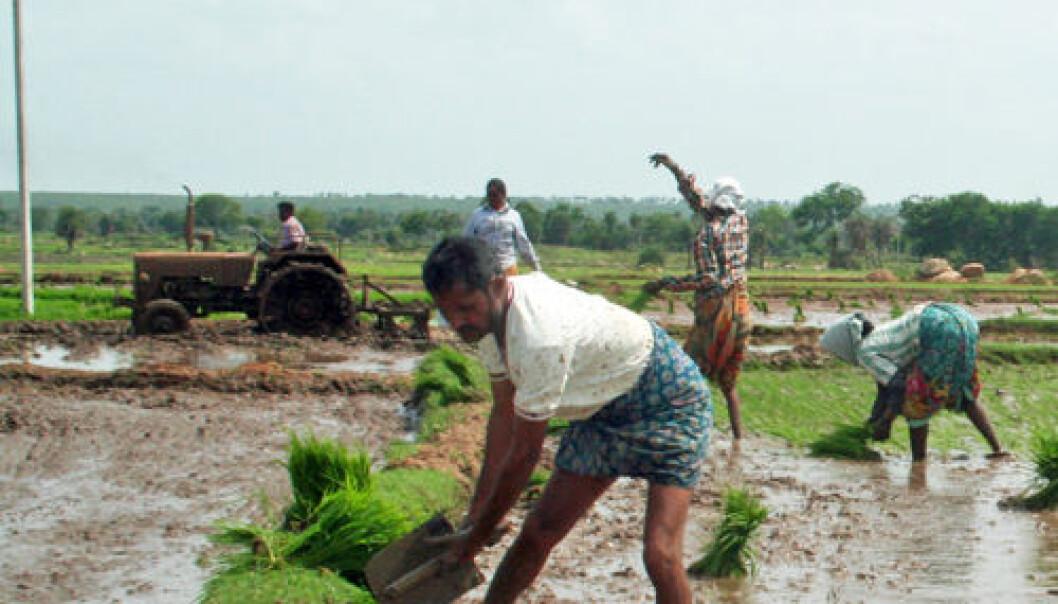 Risdyrking i Andhra Pradesh, India. Asle Rønning