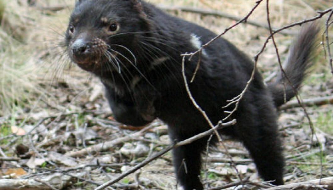 Tasmansk djevel Sarah Peck