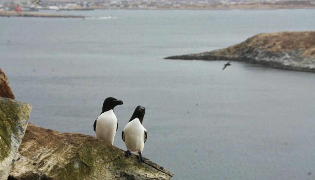 To alker på Hornøya utenfor Vardø. Noen av disse fuglene blir værende i nord, mens andre flyr helt til Kattegat for å overvintre.