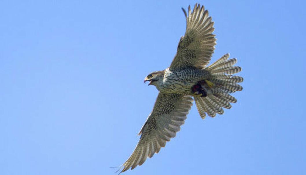 Jaktfalk er en akrobat i lufta og en fantastisk god flyger. Thor Østbye