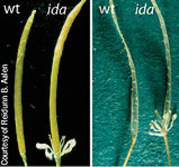 """""""I disse to bildene er den naturlige vårskrinnblom til venstre og den genmodifiserte med små kronblader til høyre. Foto: Reidunn Aalen."""""""