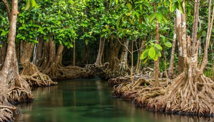 Mangrover en en av naturtypene som forskerne trekker frem som spesielt viktige å bevare.