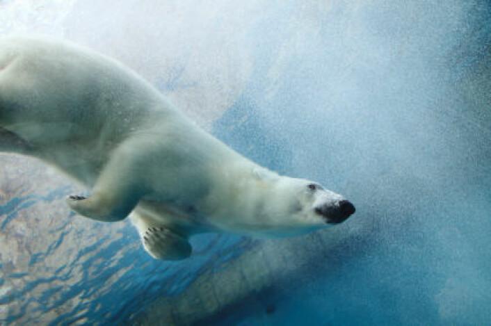 Det finnes i dag antakelig rundt 20 000 isbjørner, og rundt 5000 av dem lever på og rundt Svalbard. (Foto: iStockphoto)