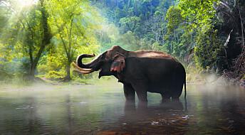 Forskere prøver å finne ut hvordan elefanter egentlig har det