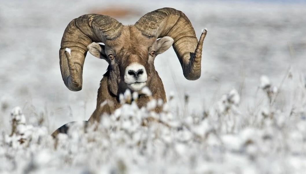 Tykkhornsauen lever et værhardt liv i fjellene i Nord-Amerika. Hannen kan bli dobbelt så stor som hunnen og bærer tunge horn. Det kan koste bukken dyrt i tøffe vintre.