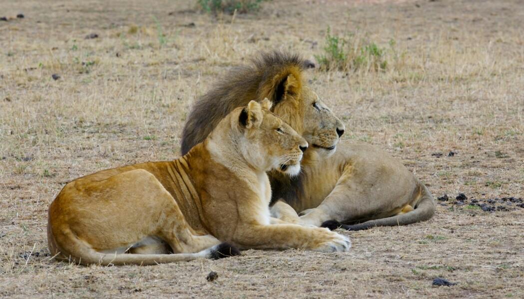 Hunnløvene lever lenger enn hannløvene gjør. Har hunnene et sunnere liv?