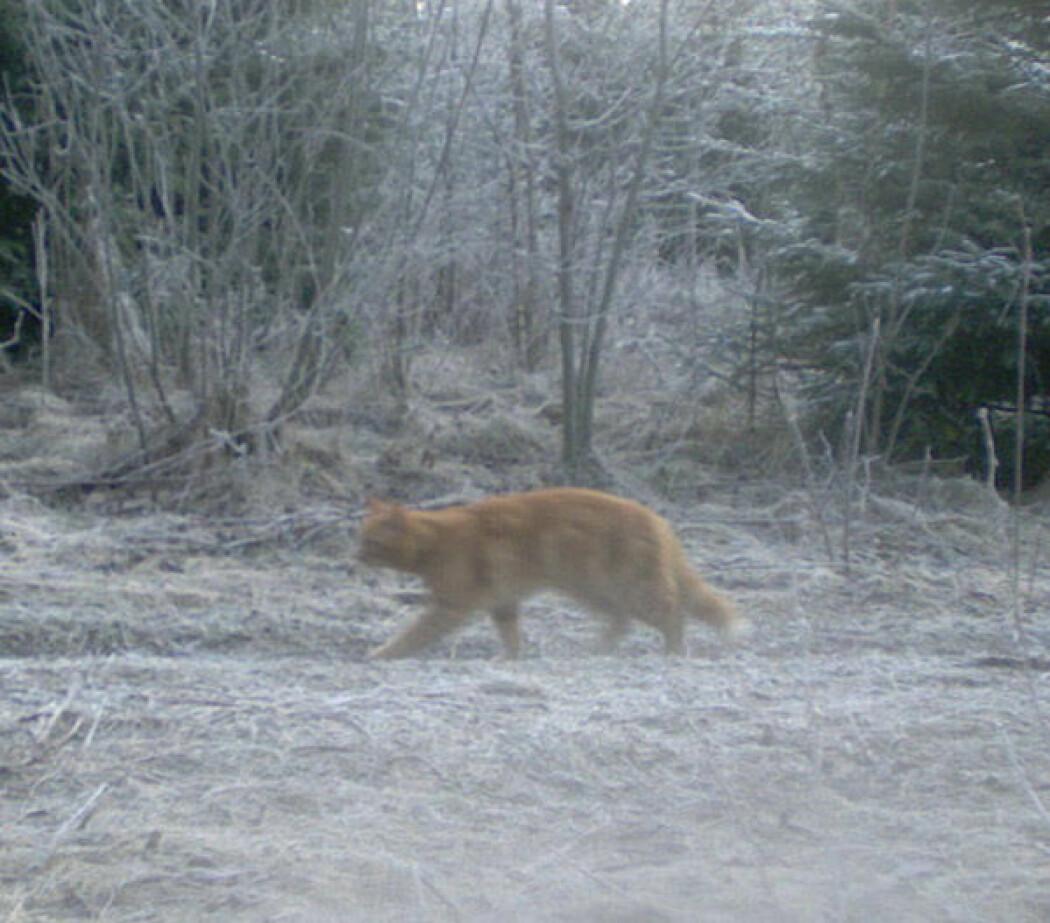 Et viltkamera har sensor som reagerer på bevegelse. Det fanger automatisk opp dyr som går forbi. Dette er et av dyrene i viltkameraquizen.