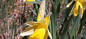 Hva vet du om gule blomster? Test deg selv i påske-quizen