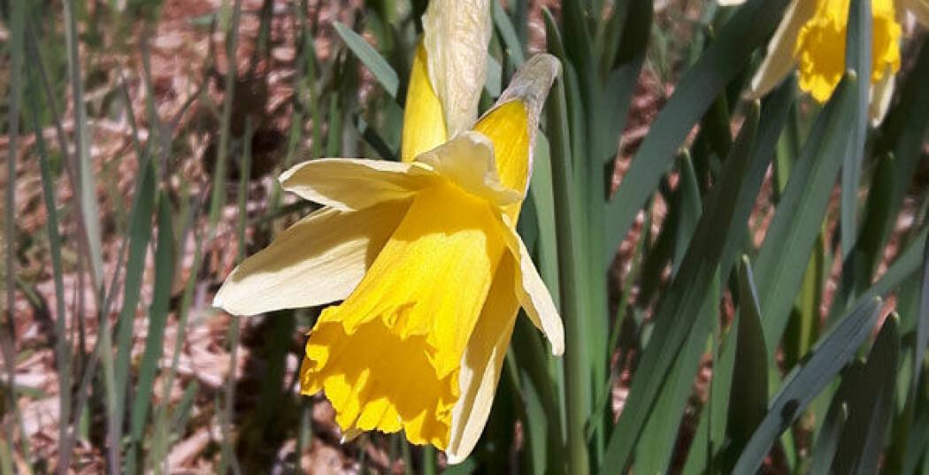 Gul blomst. Den er med i påske-quiz laget av naturforskere.
