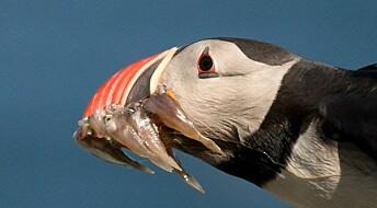 Hvor mange fisk kan en lundefugl ta i nebbet? Ta påske-quizen.