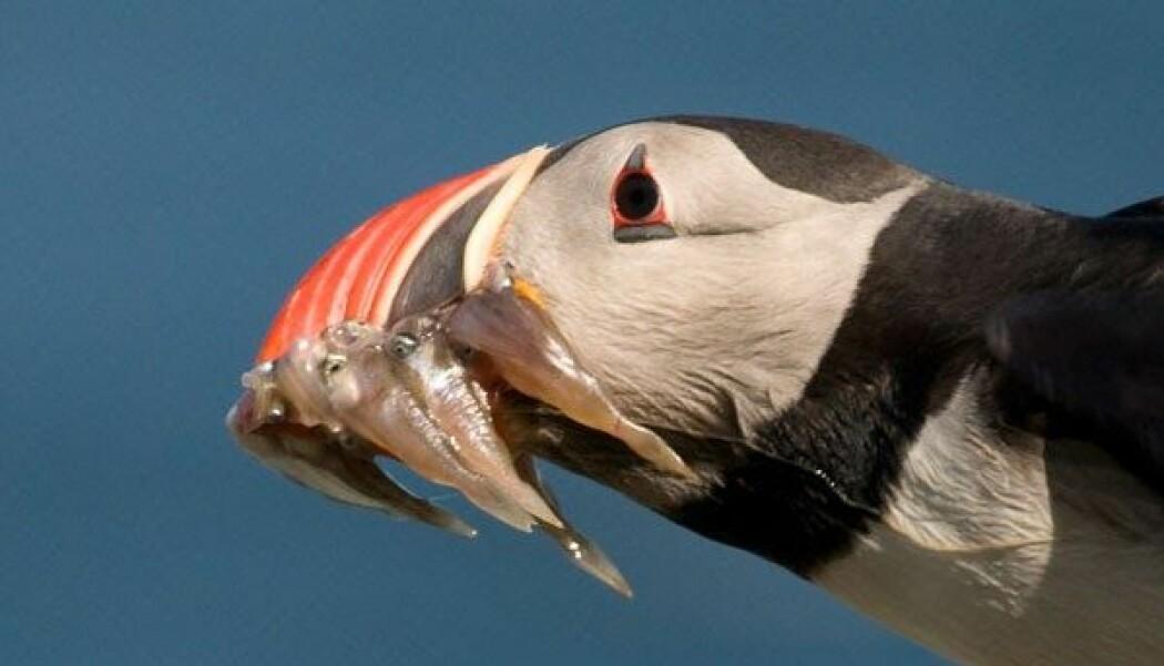 Lundefuglen har kallenavnet sjøpapegøye. Den er en av få fugler som har evnen til å holde flere fisk i nebbet om gangen. Men hvor mange? spør en naturforsker.