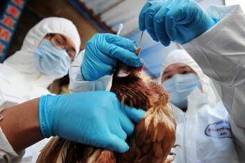 Fjærfe sjekkes for H7N9 i Kina. (Foto: Colourbox)