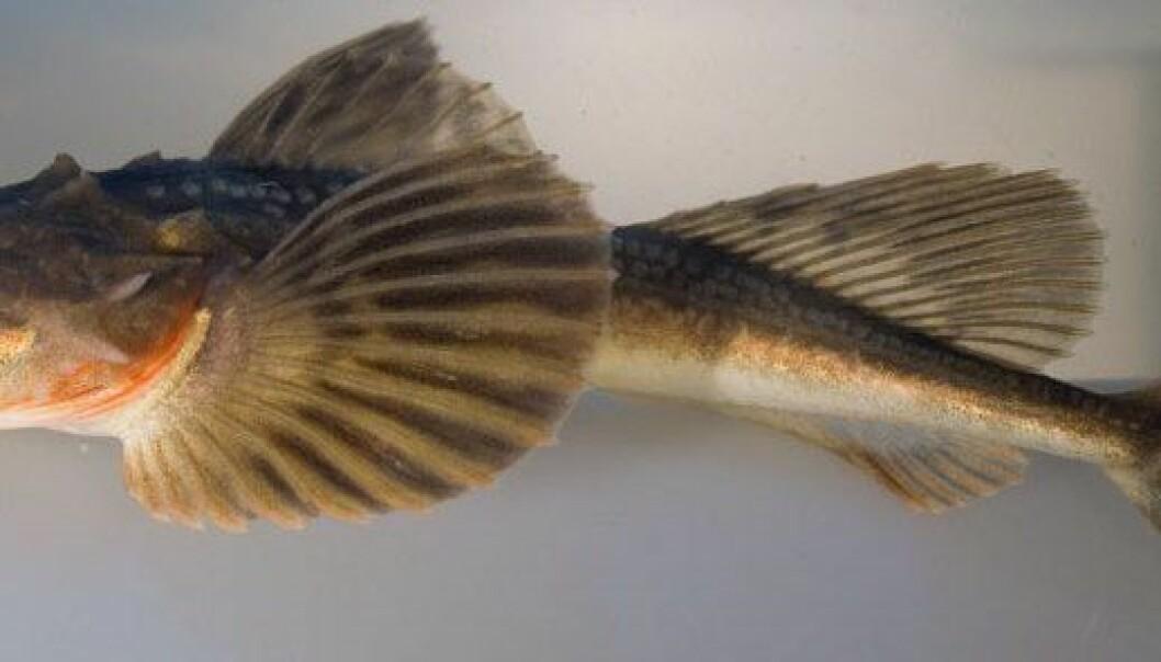Denne fisken har fått navnet Hornulke (Myoxocephalus quadricornis). Arve Lynghammar