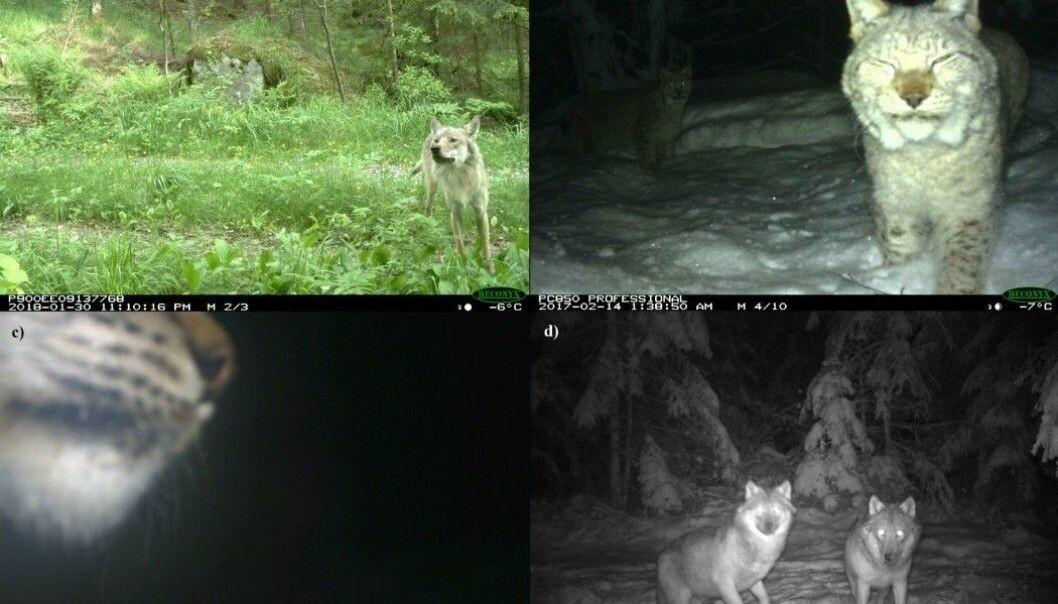 Dyr som blir tatt bilde av med kamera i naturen.