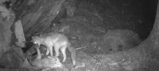 Test deg selv: hvilke dyr har blitt fanget av kameraet?