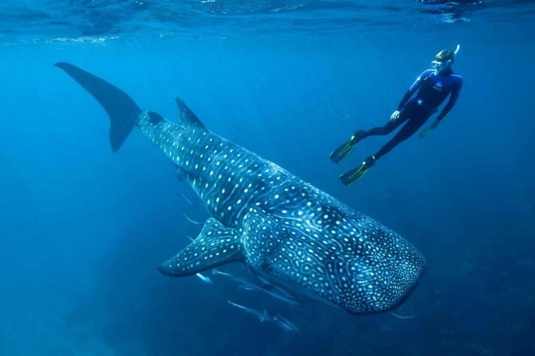 En av forskerne bak studien, Mark Meekan, dykker med en hvalhai.