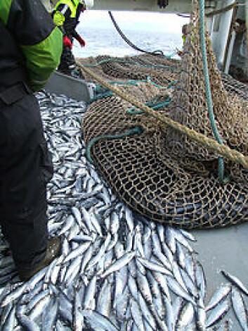 Norsk sildefiske var i ferd med å tømme havet og i 1969 ble sildekrise. (Foto: Øyvind Tangen, Havforskningsinstituttet)