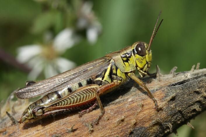Den planteetende gresshoppa Melanoplus femurrubrum. (Foto: Dror Hawlena)