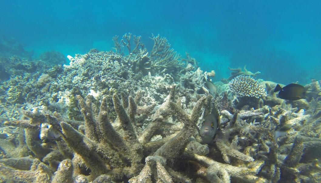 Verdens største korallrev er bleket igjen