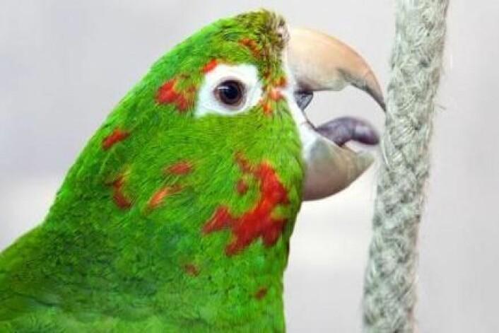 Da fuglene gikk over til å spise gress og blader, mistet de behovet for å ha tenner. (Foto: Colourbox)