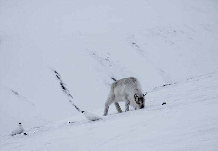 Ryper og reinsdyr fotografert under rypetelling i Adventdalen ved Longyearbyen i 2016. Bildet dokumenterer at ryper finner mat ved å lete i reinsdyras fotspor. Reinsdyra har fjernet snøen slik at rypene kan komme til.