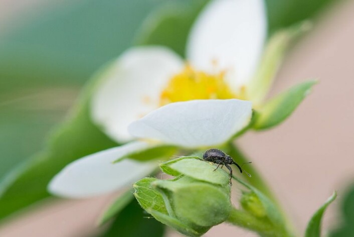 Voksen jordbærsnutebille. (Foto: Erling Fløistad)