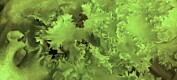Salatplanter som dyrkes i vann tåler stress dårligere