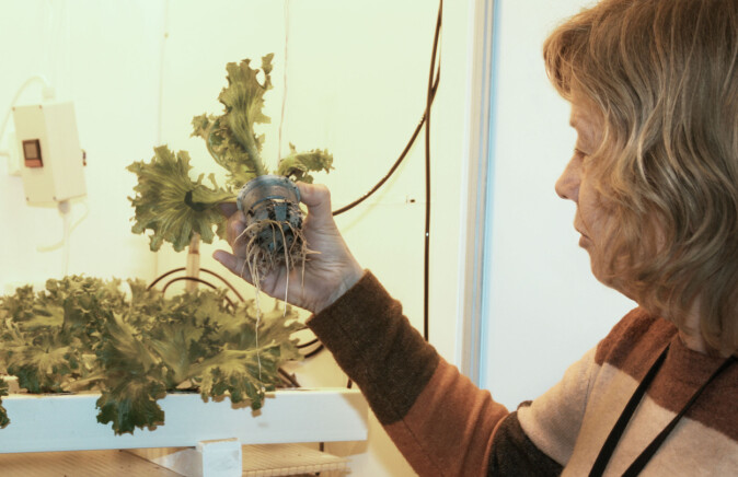 Professor Sissel Torre forteller at plantene utvikler vannrøtter, som har mindre forgreninger enn jordrøtter, er tjukkere, kraftigere og vannfylte.