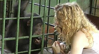 Sjimpanser smittes av menneskegjesp