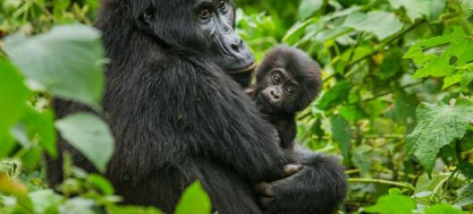 Hvorfor er det viktig for gorillaen at vi gjenvinner den gamle mobilen?