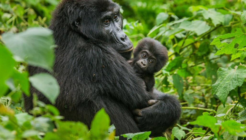 Det har blitt mange færre gorillaer i Kongo. Det skyldes blant annet at de blir forstyrret av folk leter etter metaller som skal brukes i mobiltelefoner.