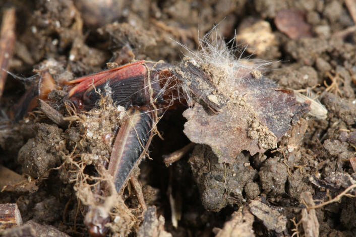 Nedbrutt gresshoppe (Melanoplus femurrubrum). (Foto: Dror Hawlena)