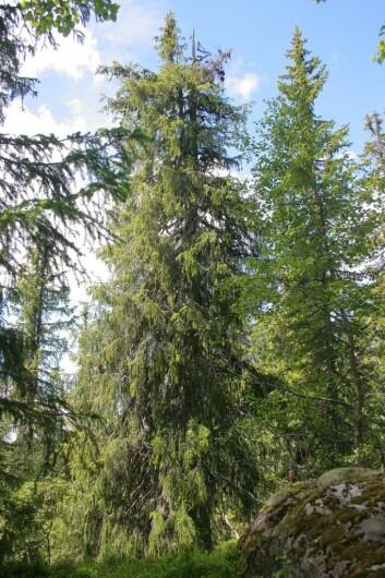 Den ser tilforlatelig ut, men nettopp dette treet er det eldste av sitt slag i hele nord-Europa. Det har levd i over 500 år. (Foto: Jørund Rolstad/Skog og Landskap)