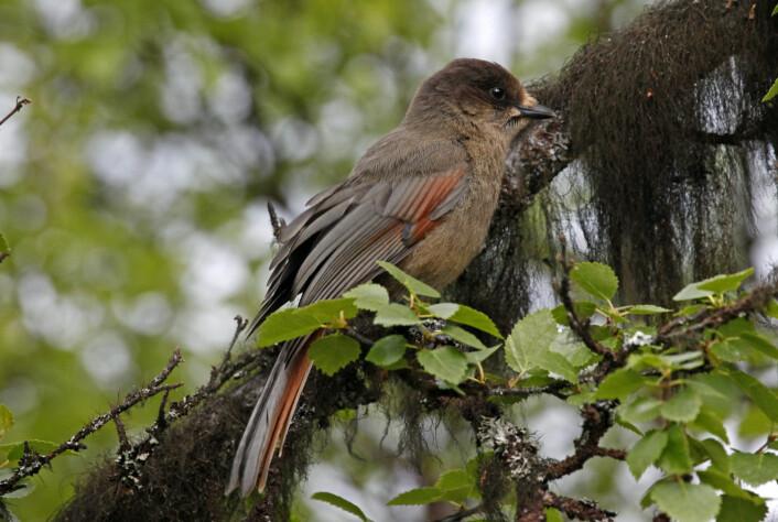 Lavskrika er en kråkefugl og i nær slekt med nøtteskrika. (Foto: Hans Petter Kristoffersen / Skog og landskap)