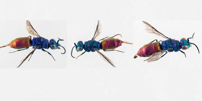 Skjult mangfold hos gullveps: Mange arter er svært vanskelige å skille på utseende, og disse artene i tre klart adskilte genetiske grupper. (Foto: Arnstein Staverløkk)