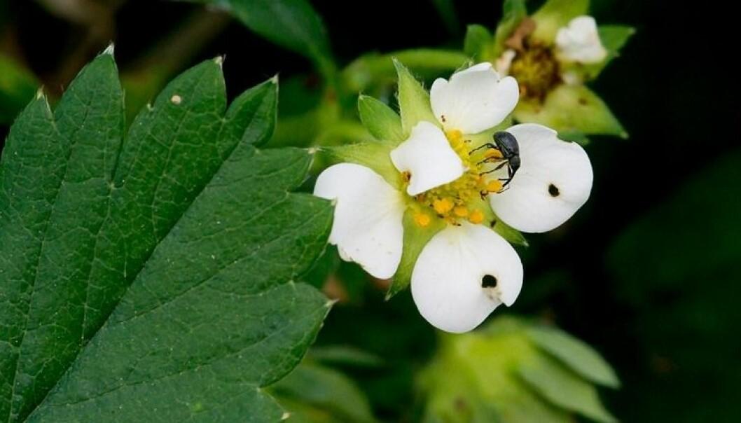 KORT OM HAGEKRYP: Jordbærsnutebillen forsyner seg av jordbæra