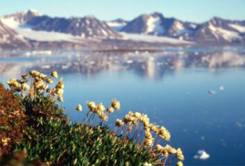 """""""Reinrose: Forskere har analysert plantelivet på Svalbard i en studie av klimaeffekter. Bildet med reinroser i forgrunnen er fra Kongsfjorden."""""""