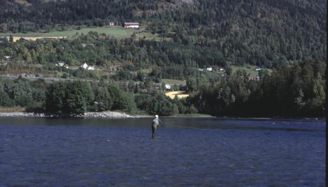 Fluefiske er en effektiv måte å fange harr på. Her på feltarbeid i Gudbrandsdalslågen på 1990-tallet.