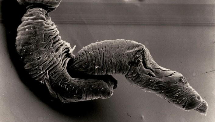Fødsel hos Gyrodactylus salaris.