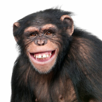 Sjimpansen er vårt søskenbarn i evolusjonsbiologisk perspektiv. (Foto: Photos.com)